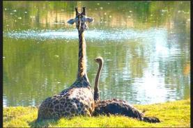 avestruz e girafa